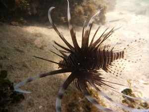 Key West Snorkeling and Sailing Adventure-Reef Creatures-Lionfish